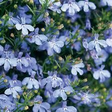 PW Lobelia Laguna Sky Blue (quart pot)