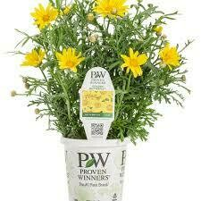 PW Argyranthemum Golden Butterfly Daisy (gallon pot)