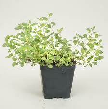 Oregano Greek  (3