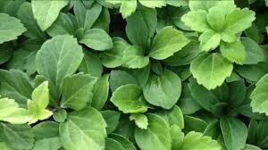 Pachysandra Flat $59.99 (approx. 48 plants)
