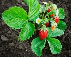 "(Spring 2021) Strawberry Plant (June Bearing 3"" pot)"