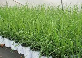 """Lemon Grass (6"""" herb pot) $15.99"""