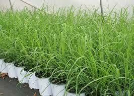 "Lemon Grass (6"" herb pot) $15.99"
