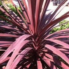 "Cordyline Red Sensation (12"" Large Tropical) $29.99"