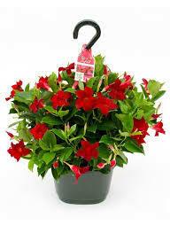 "Mandevilla RED Dipladenia (12"" Hanging Basket Tropical) $39.99"