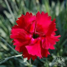 Dianthus Fire Star (gallon perennial) $15.99