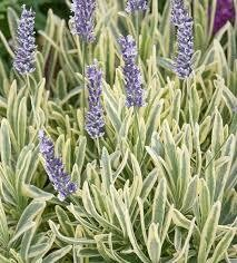 Lavandula Platinum Blonde Lavender (quart perennial) $10.99