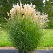 Grass Miscanthus Gracilimus Maiden (gallon perennial) $19.99
