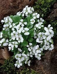 Gypsophila cerastioides Babys Breath (quart perennial) $9.99