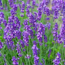 Lavandula Munstead Lavender (gallon perennial) $15.99
