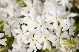 Phlox Creeping Snowflake (quart perennial) $9.99