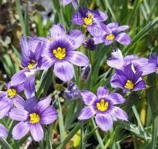 Sisyrinchium Lucerne Blue-Eyed Grass (gallon perennial) $18.99