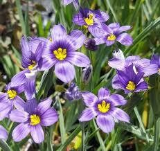 Sisyrinchium Lucerne Blue-Eyed Grass (gallon perennial) $13.99