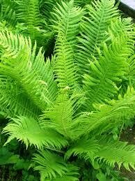 Fern Ostrich The King (gallon perennial) $22.99