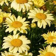 Leucanthemum Spellbook Lumos Shasta Daisy (gallon perennial) $15.99