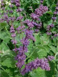 Salvia Purple Rain (quart perennial) $9.99