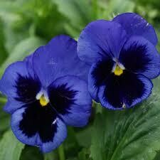 Pansy Deep Blue (3 pack)