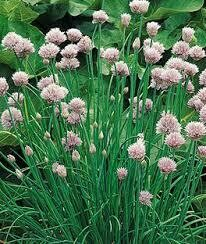 """Chives Garlic Geisha (3"""" herb pot) $6.99"""