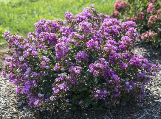 Crepemyrtle Lagerstromia Bellini Grape (3 gallon) $39.99