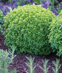 "Basil Boxwood (3"" herb pot)"