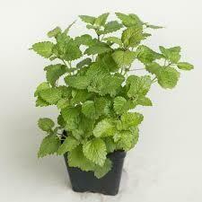 """Lemon Balm (3"""" herb pot) $6.99"""