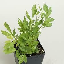 "Lovage (3"" herb pot) $6.99"