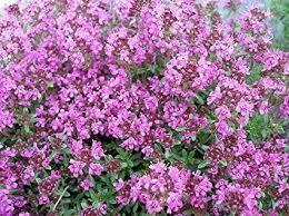 "Thyme Pink Chintz (3"" herb pot) $7.99"