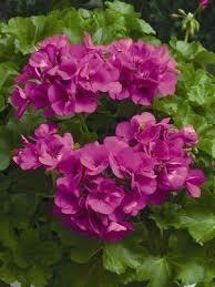 "Ivy Geranium Lavender (4 1/2"" pot)"