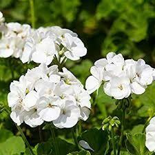 """Jumbo Geranium Patriot White (7"""" Jumbo pot)"""