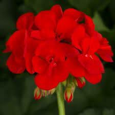 """Geranium Patriot Bright RED/ Patriot Red (4 1/2"""" pot)"""