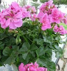 """Ivy Geranium Pink (4 1/2"""" pot)"""