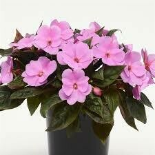 PW New Guinea Impatiens Lavender Glow (quart pot)