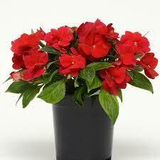 PW New Guinea Impatiens RED (quart pot)