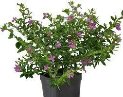 PW Cuphea Purple Mexican Heather Floriglory Diana (quart pot)