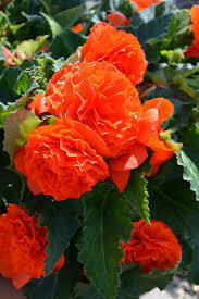 PW Begonia Nonstop Orange (quart pot)