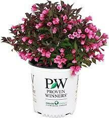 Weigela Wine and Roses (3 gallon) $49.99