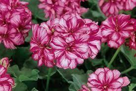 "Ivy Geranium Burgundy ICE (4 1/2"" pot)"