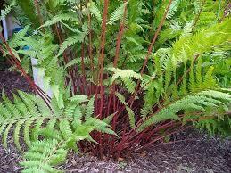 Fern Lady in Red (gallon perennial) $22.99
