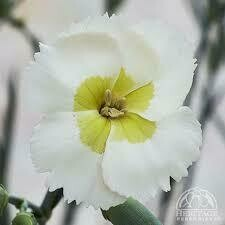 Dianthus American Pie Key Lime Pie (quart perennial) $9.99