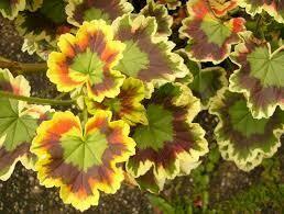 "Geranium TRICOLOR Yellow, Green & Black Leaf (4 1/2"" pot)"