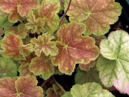 Heuchera Miracle Coral Bells (gallon perennial) $15.99
