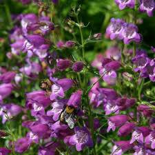 Penstemon Beard Tongue Pike's Peak Purple (gallon perennial) $15.99