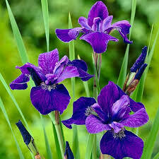 Iris Caesar's Brother Siberian (gallon perennial) $9.99