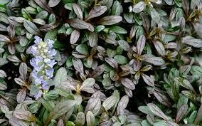 Ajuga Chocolate Chip Bugleweed (quart perennial) $9.99