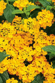 PW Lantana Yellow (4