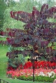 Redbud Forest Pansy (6-8') 159.99