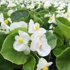 Begonia Green Leaf WHITE (3 pack)