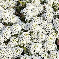Alyssum White Snow Crystals/ Clear Crystal (3 pack)