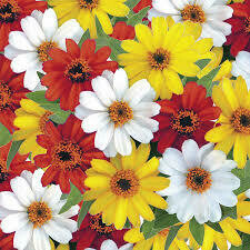 Zinnia Profusion 5 Colors Mix (3 pack)