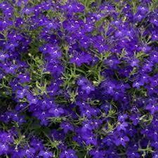 Lobelia Riviera Midnight Blue (3 pack)